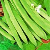runner-bean-plants-white-lady-6-x-medium-plugs