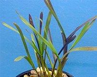 25 Filterpflanzen – Teichpflanzen - 4