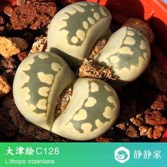 Go Garden 100% frais 50pcs réel lithops cactus succulent Semillas ~ Pierres vivantes (S49-72): Gris foncé