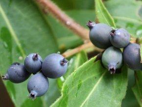 Immergrünes Geissblatt - Lonicera henryi - Kletterpflanze von Baumschule auf Du und dein Garten