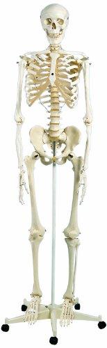 3B Scientific A10 Standard-Skelett Stan, auf 5-Fuß-Rollenstativ aus Kunststoff (Skelett Stan)