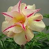 Adenium obesum Tongnopprakun - Wüstenrose - 3 Samen