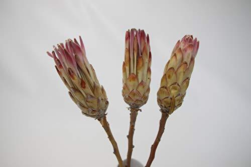 Protea Repens Pink Dekorieren Trockenblume Gestecke Bodenvasen Floristik NEU (10)