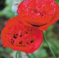 papaver-somniferum-red-carnation-seeds