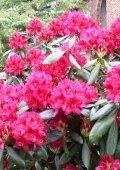 alpenrose-rhododendron-nova-zembla-50-60-cm-hoch-mit-ballen