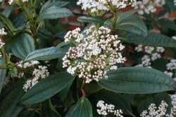 Immergrüner Kissenschneeball/Viburnum davidii