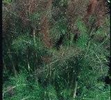 Just Seed Saatgut, Fenchel Bronze Foeniculum vulgare Bronze 500 Samen, Gro packung