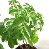 Vamsha Nature Care Plantsguru Kapoor Tulsi