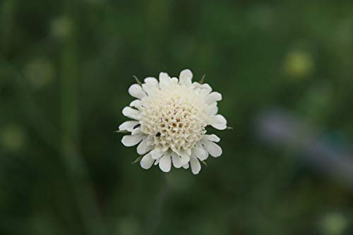 Scabiosa ochroleuca - 3 Pflanzen im 0,5 lt. Vierecktopf