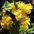 Just Seed Schöllkraut / Chelidonium majus fl. pl., Blume, große Packung, 400Samen von Just Seed auf Du und dein Garten