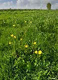 Just Seed - Wild Flower - Ranunculus bulbosus - Buttercup 175 Seed