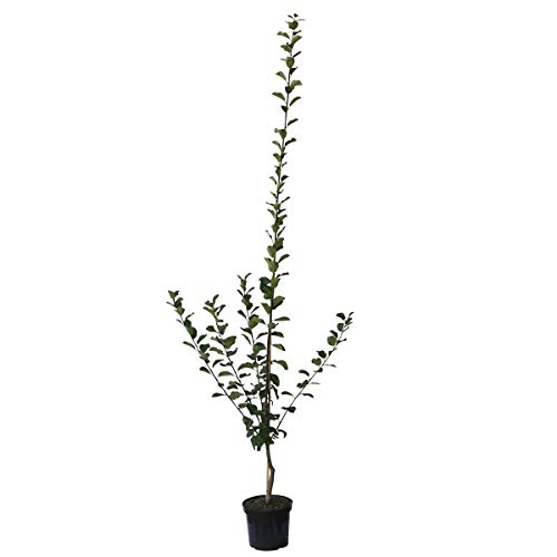 Müllers Grüner Garten Shop Hauszwetsche klassische Zwetschenbaum einjähriger Buschbaum 100-120 cm 5 Liter Topf St. Julien A