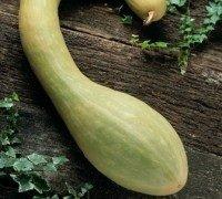 JustSeed Zucchini Tromboncino Albenga 20 Samen