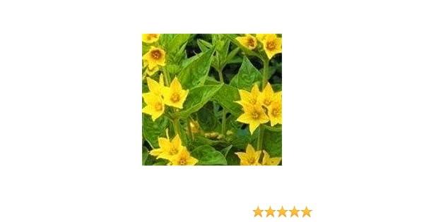 Lysimachia punctata 150 Seeds Yellow Loosestrife