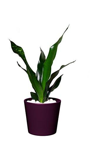 EVRGREEN | Zimmerpflanze Bogenhanf in Hydrokultur mit violettem Topf als Set | Schwiegermutterzunge | Sansevieria trifasciata Black robusta