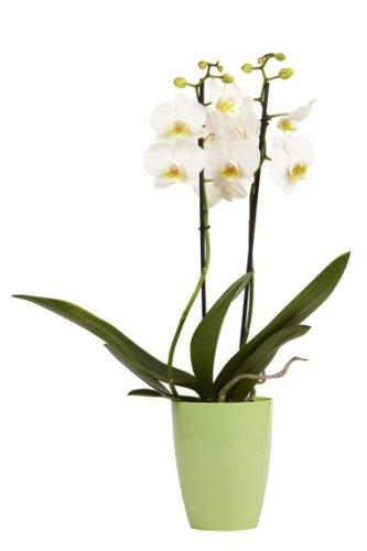 florito