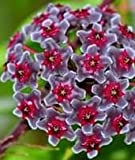 Hoya carnosa Multi Coloured - Porzellanblume - Wachsblume - 10 Samen