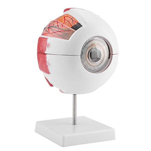 Ampliación 6X Ojo humano Anatomía de la bola Modelo Anatómico Herramientas de visualización