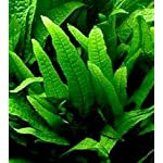 25 Live Aquarium Plants/9 Different Kinds - Amazon Swords, Anubias, Java Fern, Ludwigia and much more! Great plant… 15