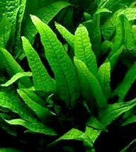 25 Live Aquarium Plants/9 Different Kinds - Amazon Swords, Anubias, Java Fern, Ludwigia and much more! Great plant… 6
