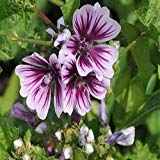 Malve Zebrina Blumensamen (Malva sylvestris) 50 + Seeds (100+)