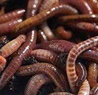 Composting Worms 250g