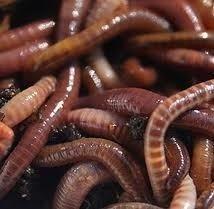 tiger-composting-worm-starter-set-100-worms-bedding-premium-worm-food-coir