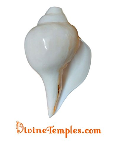 divinetemples big natural blowing shank (with stand) DivineTemples Big Natural Blowing Shank (With Stand) 31RsH8w0wzL