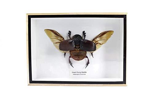 Bitacora Insekten Sammlung heliocopris 18x13 Präparatoren in Rahmen