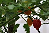 Seedstores : Hybrid Pusa Ruby High Yield Tomato 50 Seeds For Terrace Roof Top Balcony Kitchen Poly House Gardening