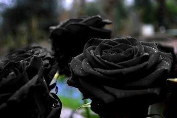 50 Graines Rose Noire - avec bord rouge, couleur rare, jardin de fleurs populaires Graines vivaces Bush ou Bonsai Fleur 8