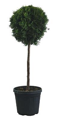 Formgehölz Cupressocyparis Leylandi Zypresse H 100 cm Viertel Stamm