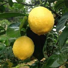 PLAT FIRM GRAINES DE GERMINATION: 20 pcs graines de citron Fruit Garden Terrace Semences Verger Ferme Famille En Pot