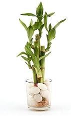Nurturing Green Mini Delight 5-Stick Lucky Bamboo Glass