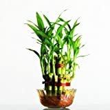 #8: Rolling Nature Lucky Bamboo- 2 Layer
