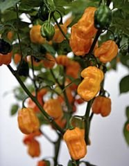 bobby-seeds-chili-peperonisamen-numex-suave-orange-portion