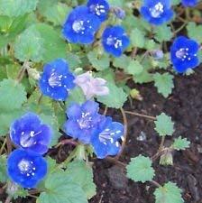 Endymion, CALIFORNIA BLUE BELL Blume, 1000 Samen! Groco,