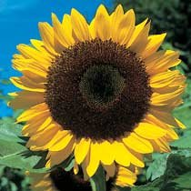 sunflower-giant-yellow-3-metre-plus-40-seeds