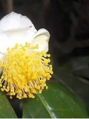 5x Callistemon Rigidus Camellia Sinensis Assamica Seeds Plant Seed B852