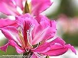 PLAT firm-SEMI Bauhinia purpurea Purple Orchid albero 30 semi