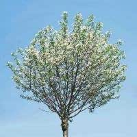 kugel steppenkirsche prunus fruticosa 39 globosa 39 cac garten. Black Bedroom Furniture Sets. Home Design Ideas
