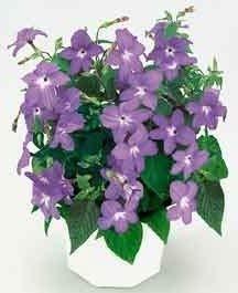 FERRY Keimfutter: 75 Samen von Cascade Sky Blue Browallia Im022 -