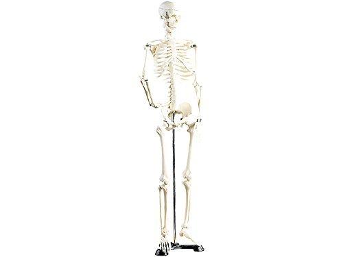 modello-in-scala-scheletro-umano-altezza-85cm-x-lezioni-anatomia-scienze-mediche