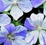 Geranium - Splish Splash - 5 Seeds