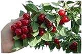 Arbre fruitier nain pour terrasse - Cerisier - Variété Morel - Hauteur environ 1m...