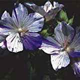 Plant World Seeds - Geranium Pratense 'Striatum' Seeds