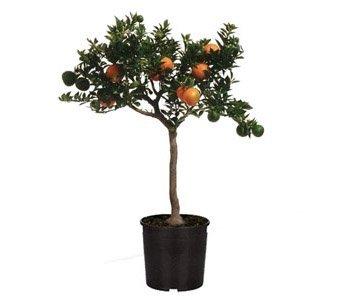 arbuste-agrume-chinotto-agrume-sur-tige