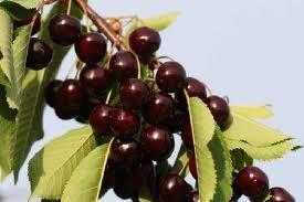 arbre-fruitier-nain-pour-terrasse-cerisier-variete-sunburst-hauteur-environ-1-m