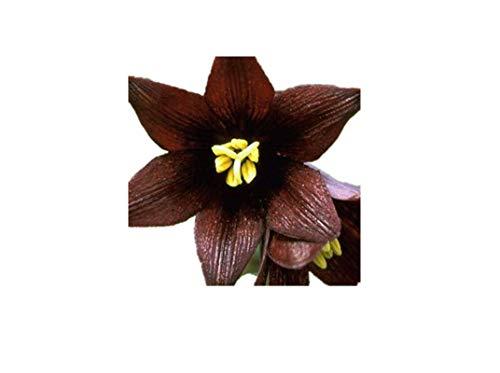 KINGDUO Graines De Lily Parfum Egrow 100Pcs/Pack Accueil Bonsaï D'Intérieur Fleurs Plantes Graines-3