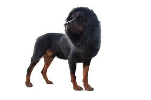 Schwarze Löwenmähne Kostüm - Demarkt Hundekostüm Löwenmähne für Hunde (Schwarz)